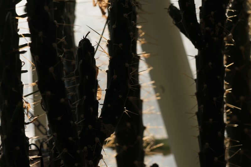 Several prickly stems of a cactus backlit by sunlight