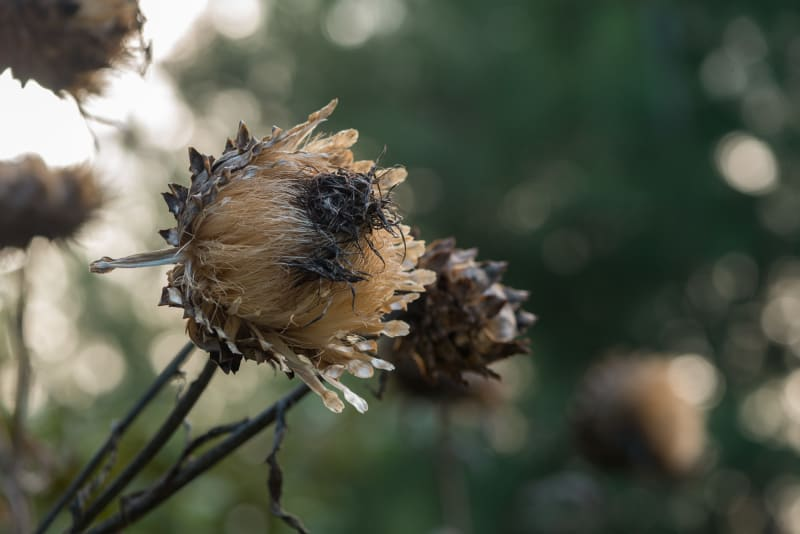 A photo of a cardoon head in autumn sunlight. It looks like a cross between a thistle and an artichoke.