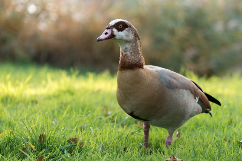 A photo of an egyptian goose walking towards the camera with soft dappled light behind it.