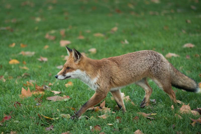 A young fox walks from right to left in short grass, ears pricked up.