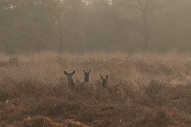 Three female deer poke their heads above ferns in morning sunlight.