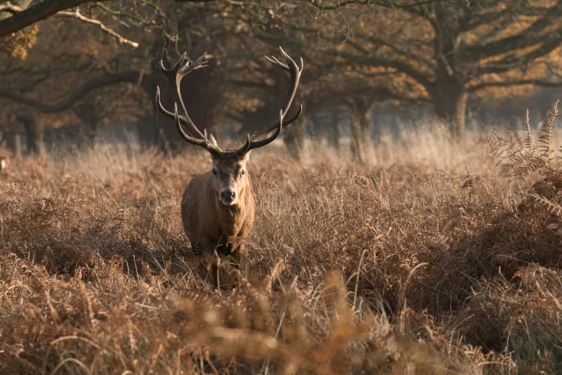 A large stag faces the camera, lit from the right with dawn sunlight
