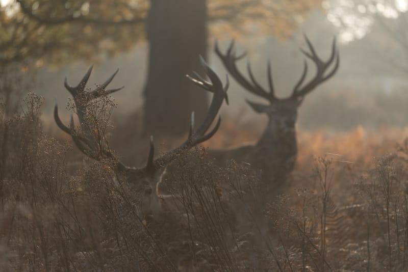 Two stags are silhouette in front of dawn sunlight, partially hidden by ferns.