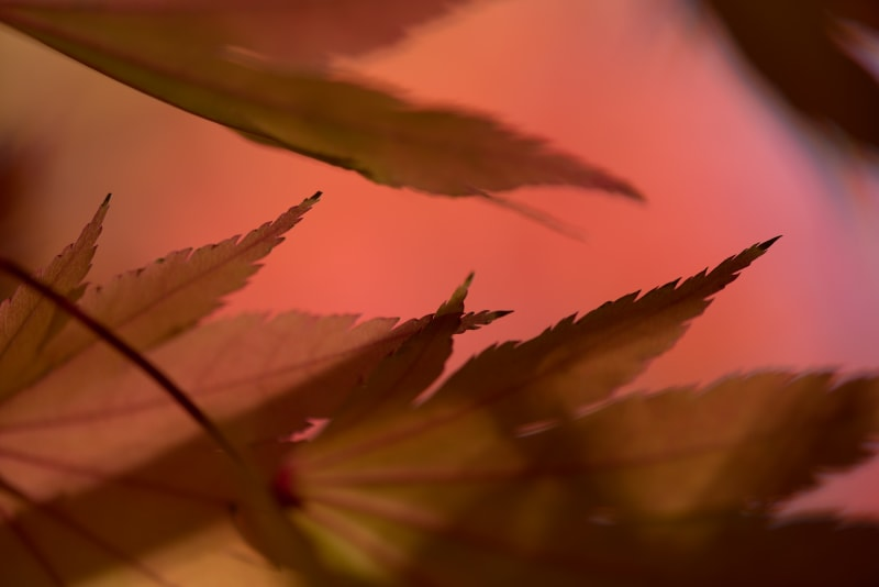 A close macro photo of the edges of several maple leaves. The image is deep red with dark orange leaves.