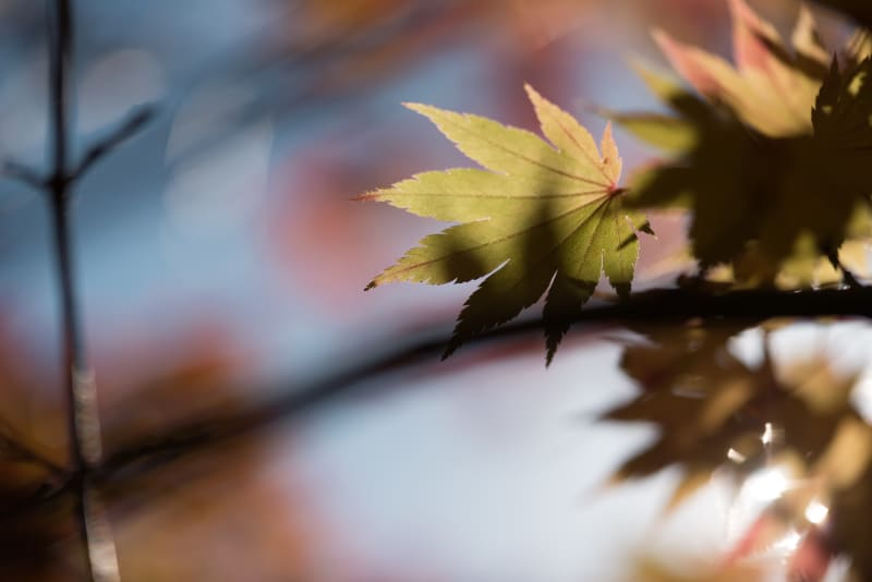 A macro photo of a light coloured maple leaf against a soft focus sky background.