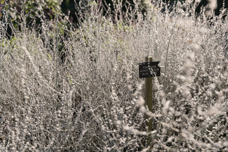 A photo of a bush of 'Russian sage' or 'perovskia atriplicifolia'. It's very light grey or white, with a slate name tag in the centre.