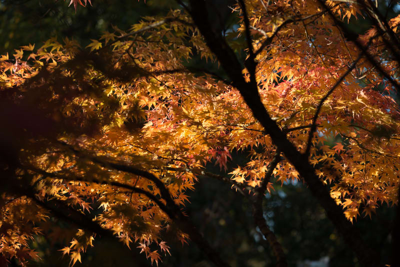 A wide photo of many orange maple leaves from underneath a maple tree.