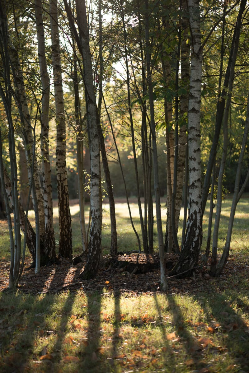 A photo of several closely grouped trees / trunks backlit by sun.