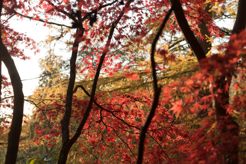 A photo of an autumnal red maple tree with yellow maple leaves in the background.
