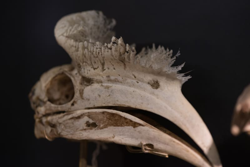 A close up of a hornbill skull. The top of the beak has a sponge like quality.