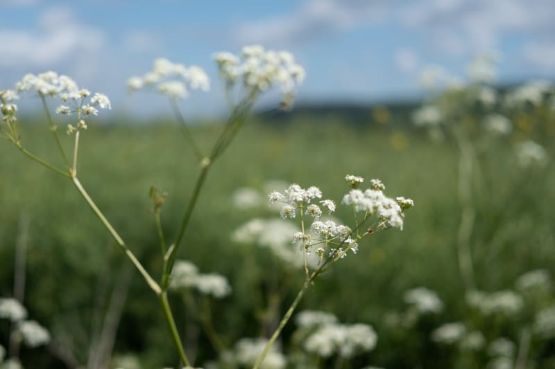 A close macro photo of some white wild flowers.