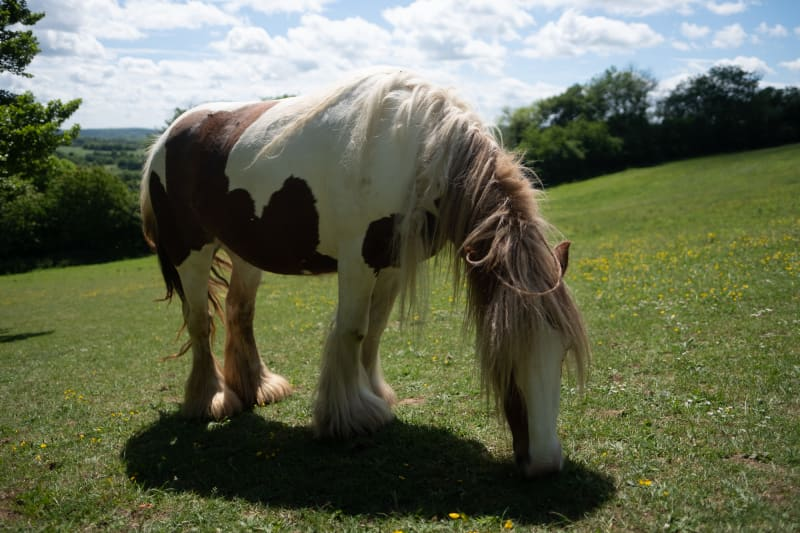 A white and brown pony with hairy legs bends down and eats some grass.