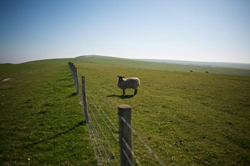 A solitary sheep looks towards the photographer. A wire fence divides the two.