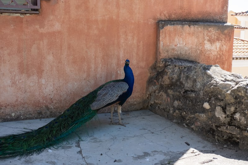 A peacock looks stood side on looks at the camera. It's stood in the shade of a peach pastel coloured building.
