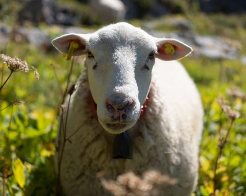 A white sheep looks directly at the camera