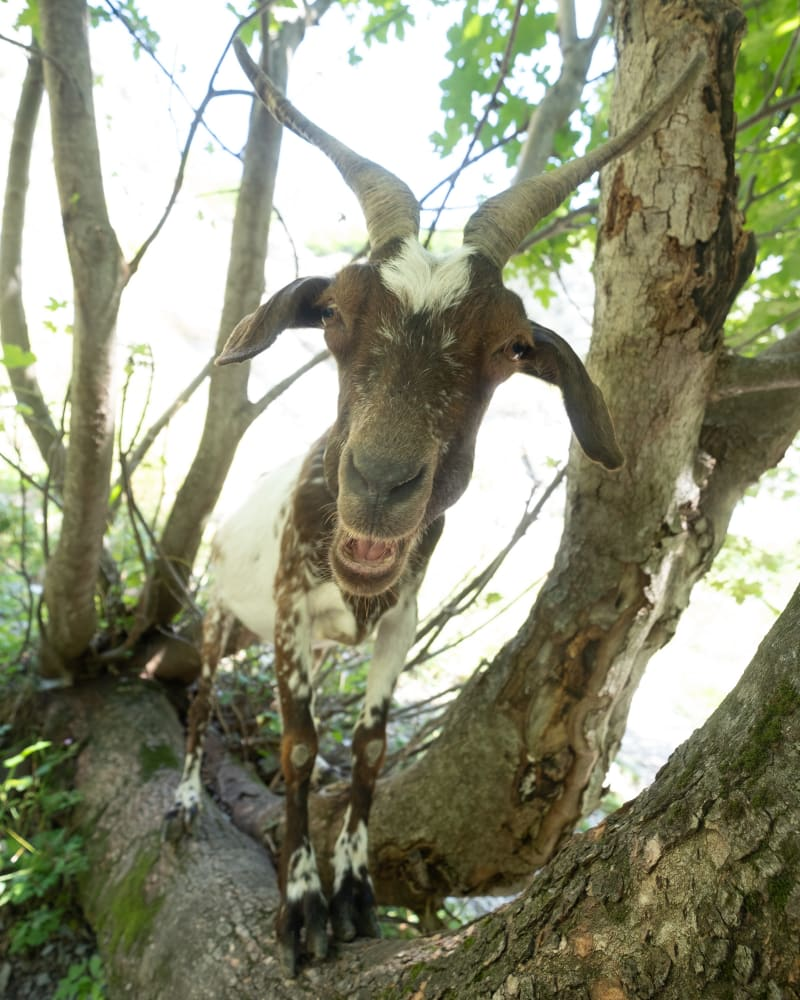 A brown and white goat with horns stares straight at the camera, with it's mouth open. It's stood on a branch of a tree above the photographer.