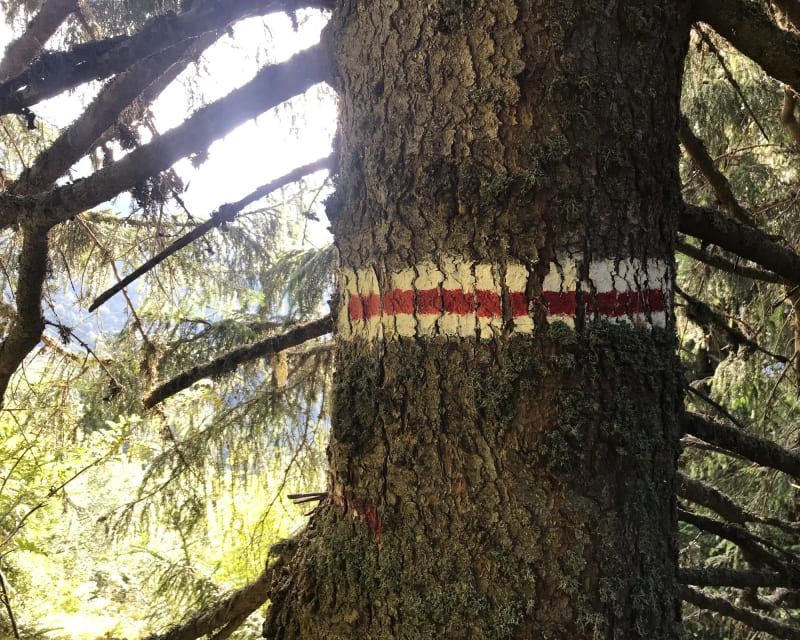 A close photo of the trunk of a medium sized tree. A stripe of white-red-white stripe has been painted horizontally around the trunk.