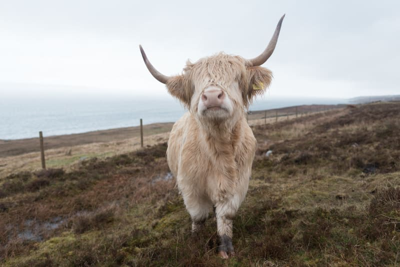 A cream coloured highland cow with large horns faces the camera. There's long shaggy hair covering it's eyes.