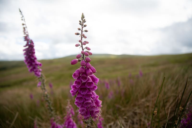 Two shoots of magenta foxgloves in full bloom.