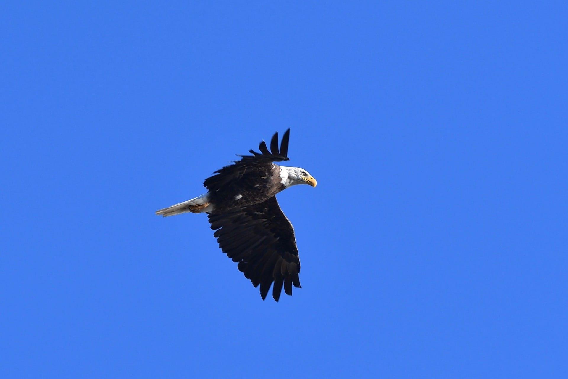 D300 Nikon with eagle