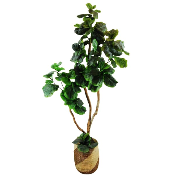 Fig Tree in a African Basket Silk Plant