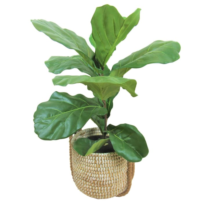 Fiddle Leaf Fig in White Rope Handled Basket
