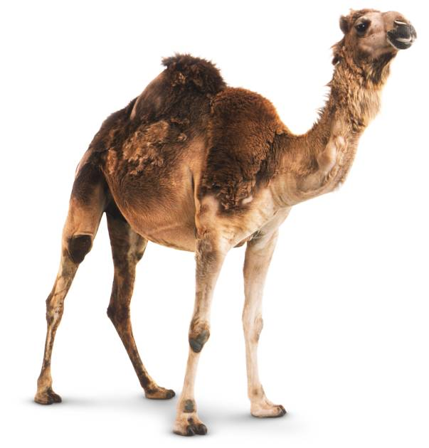 Fun Facts About Camels