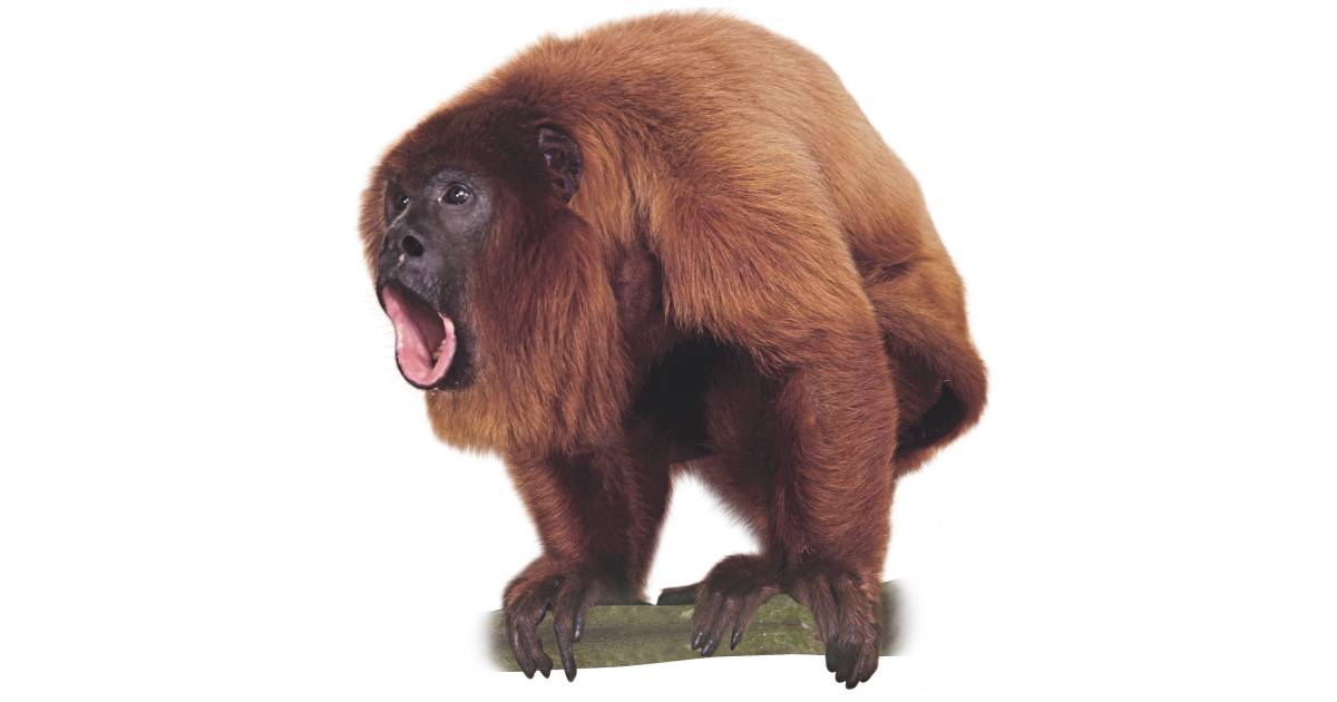 Howler Monkey Sound | Howler Monkey Facts | DK Find Out