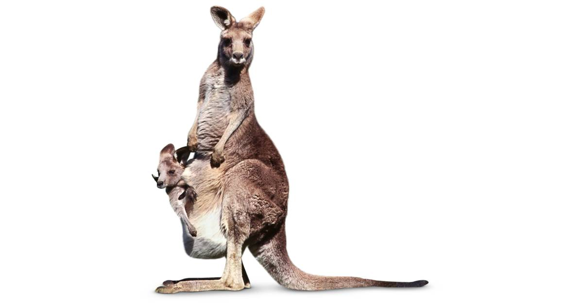 What is a Marsupial | Kangaroo Facts for Kids | DK Find Out