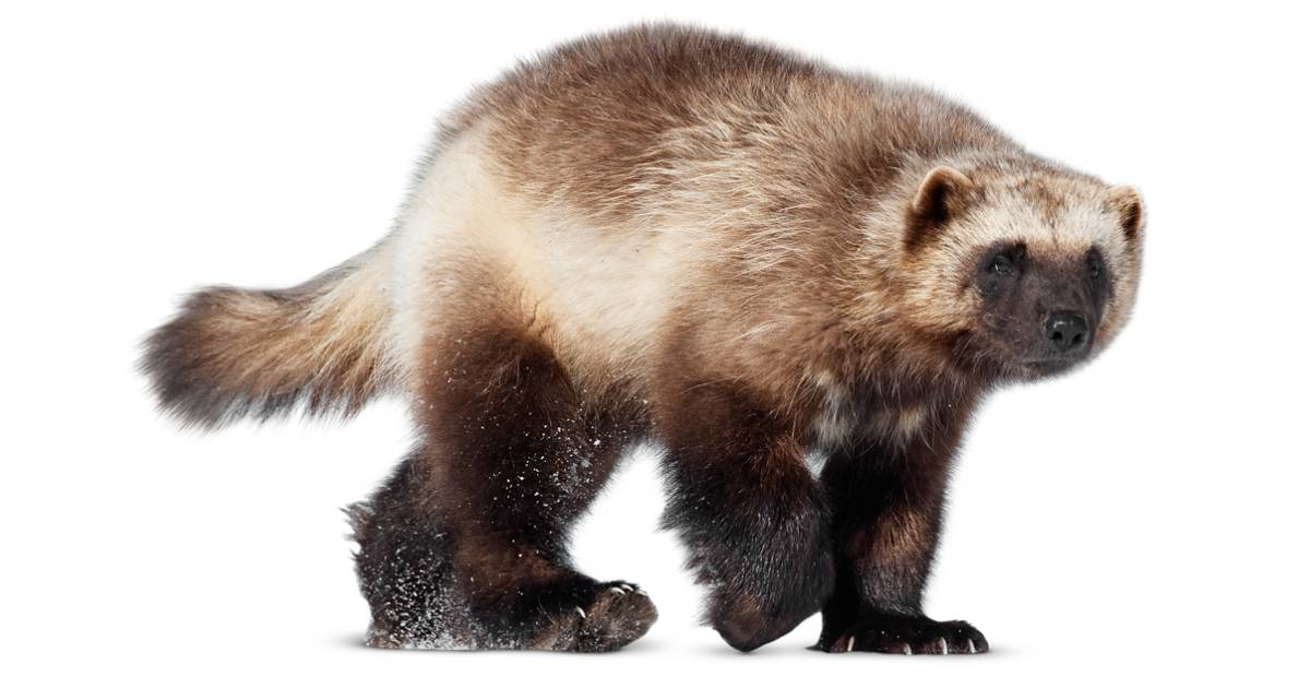 Wolverine Animal Facts | Wolverine Animal Diet | DK Find Out