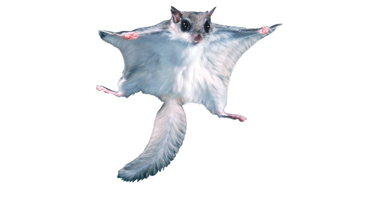 flying squirrel wings