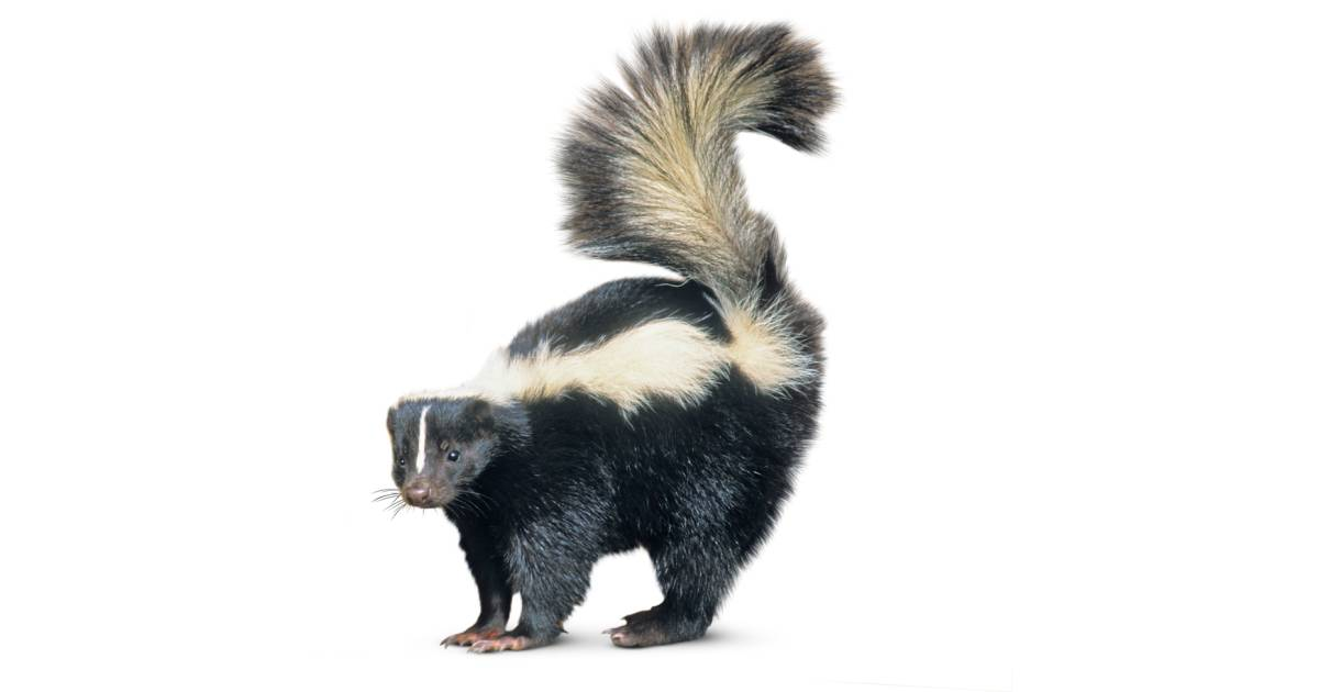Skunk Facts for Kids | Skunk Habitat | DK Find Out