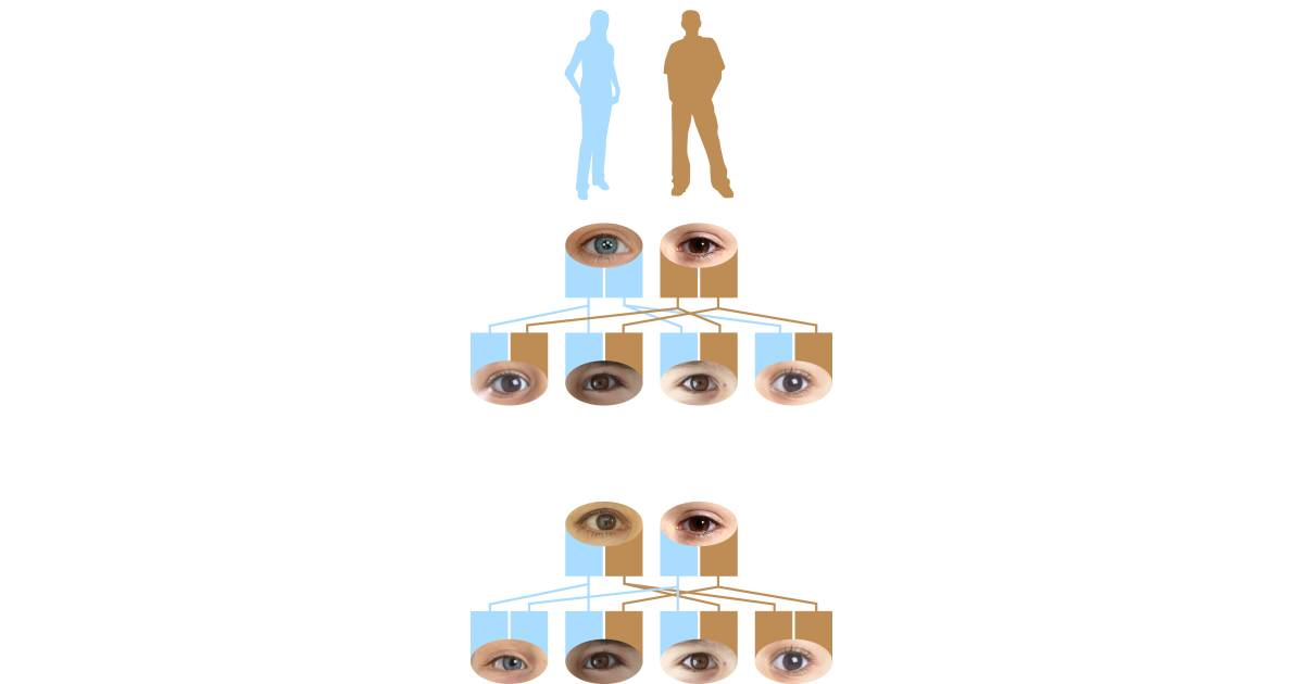 Recessive Genes Dominant Eye Color Dk Find Out