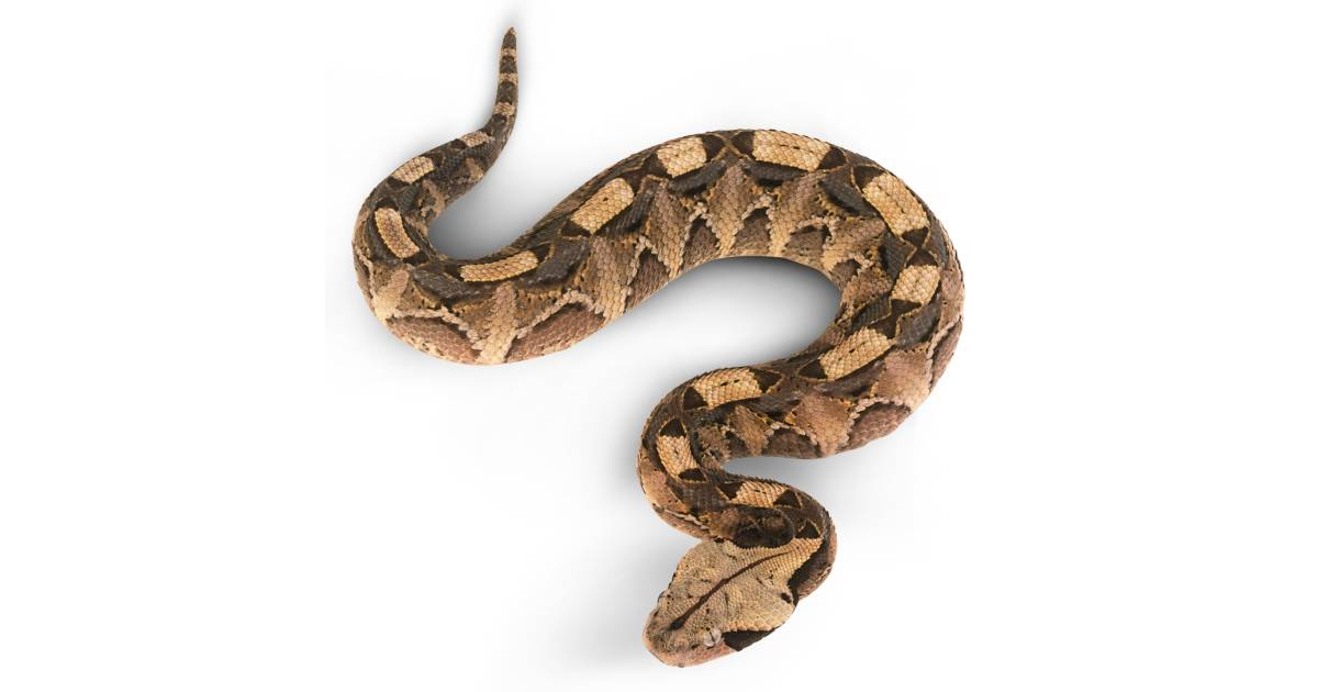 Viper Snake Facts Are Vipers Poisonous Dk Find Out
