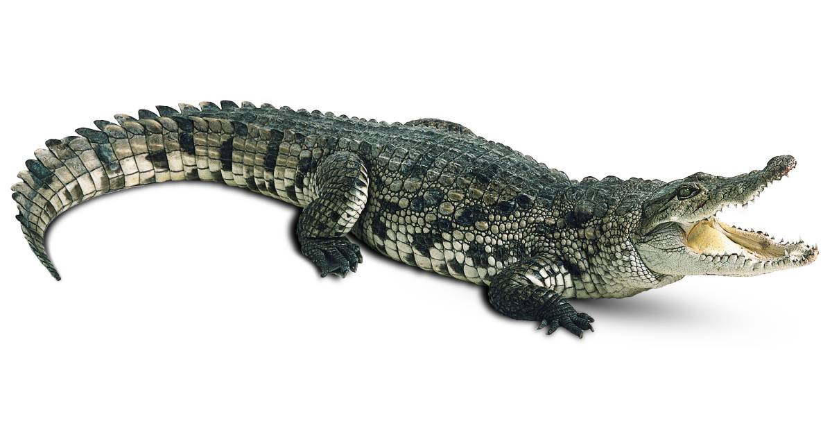 crocodiles alligators kids crocodile facts dk find out