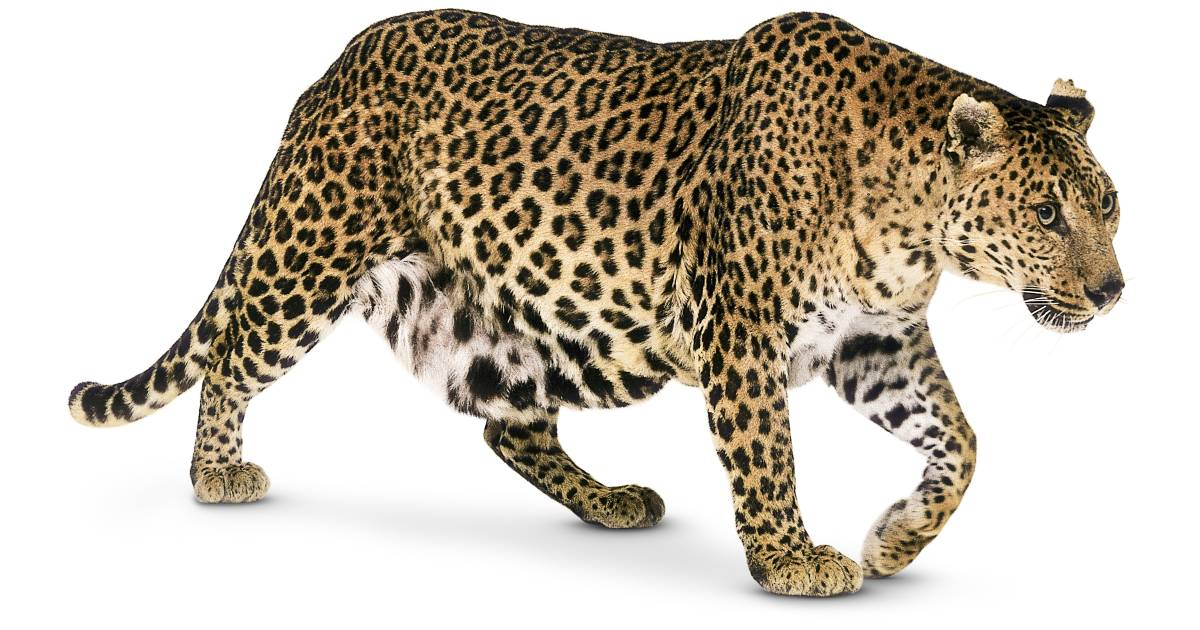 Leopard Facts for Kids | Leopards Spots | DK Find Out