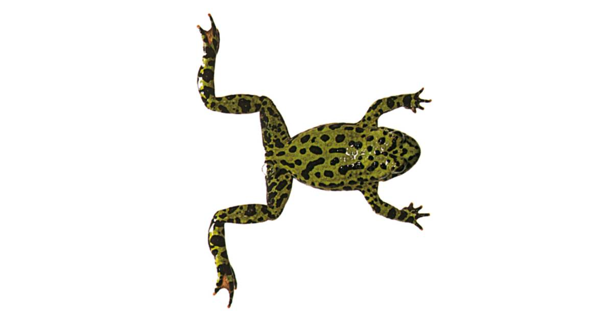 aquatic frogs frog swimming dk find out