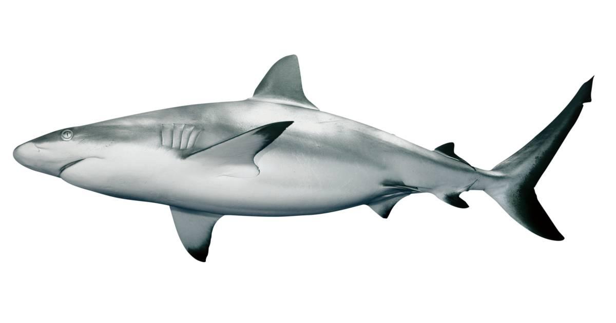 Shark facts for kids information on sharks dk find out altavistaventures Images