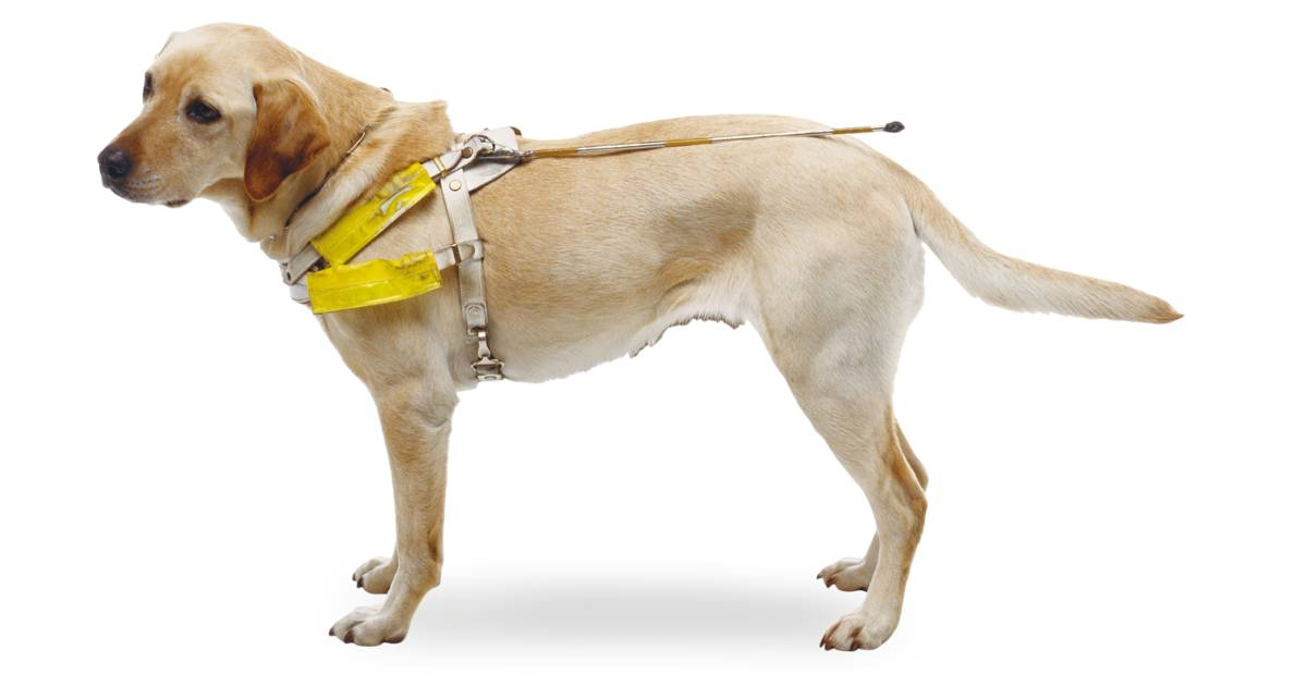 Guide Dogs How Are They Trained