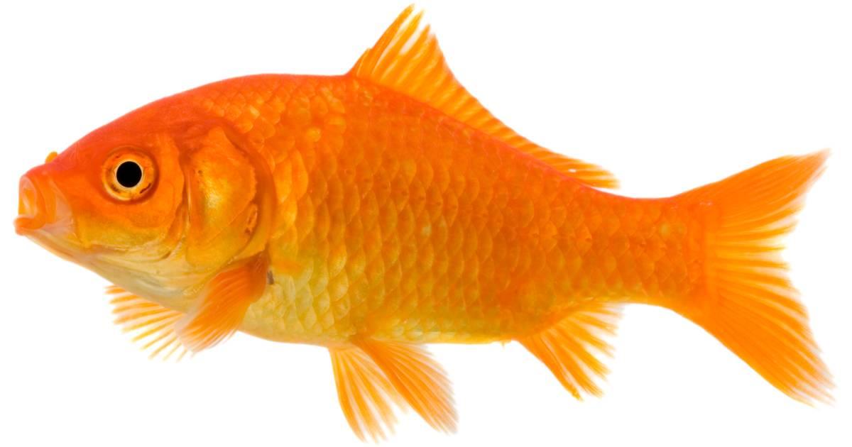 Pet Fish Facts For Kids Aquarium Fish Care Dk Find Out