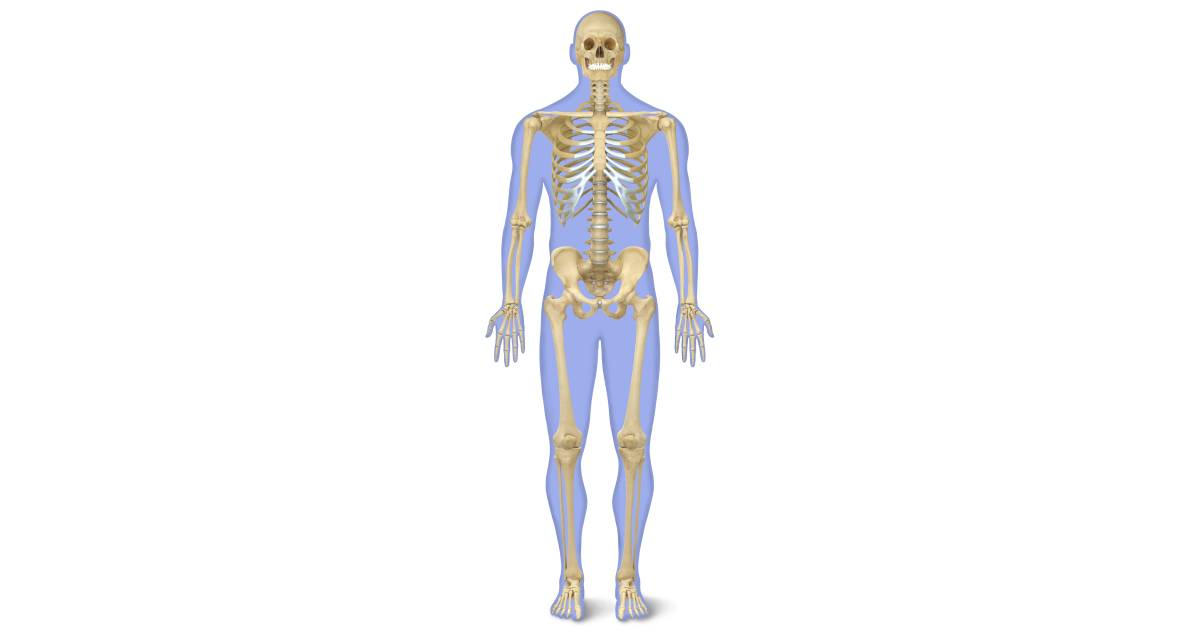Human Skeleton for Kids | Human Body Skeleton | DK Find Out