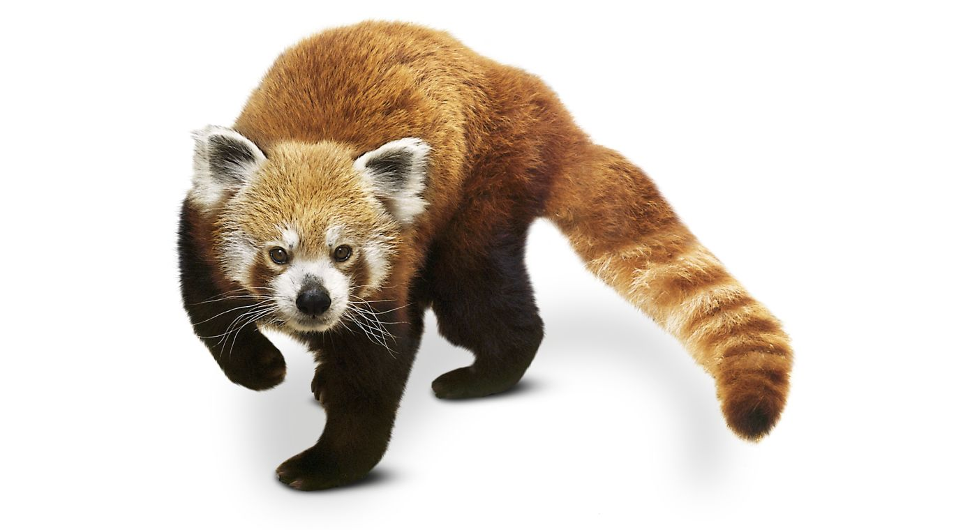 A day in the life of a red panda | DK Find Out!