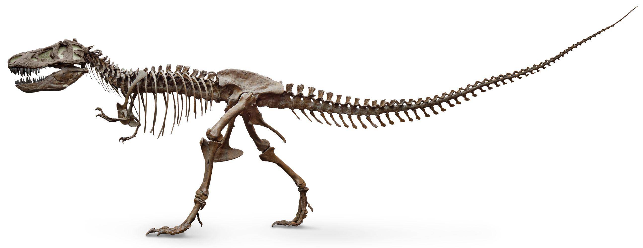 Tyrannosaurus skull tyrannosaurus skeleton dk find out for Tyranosaurus