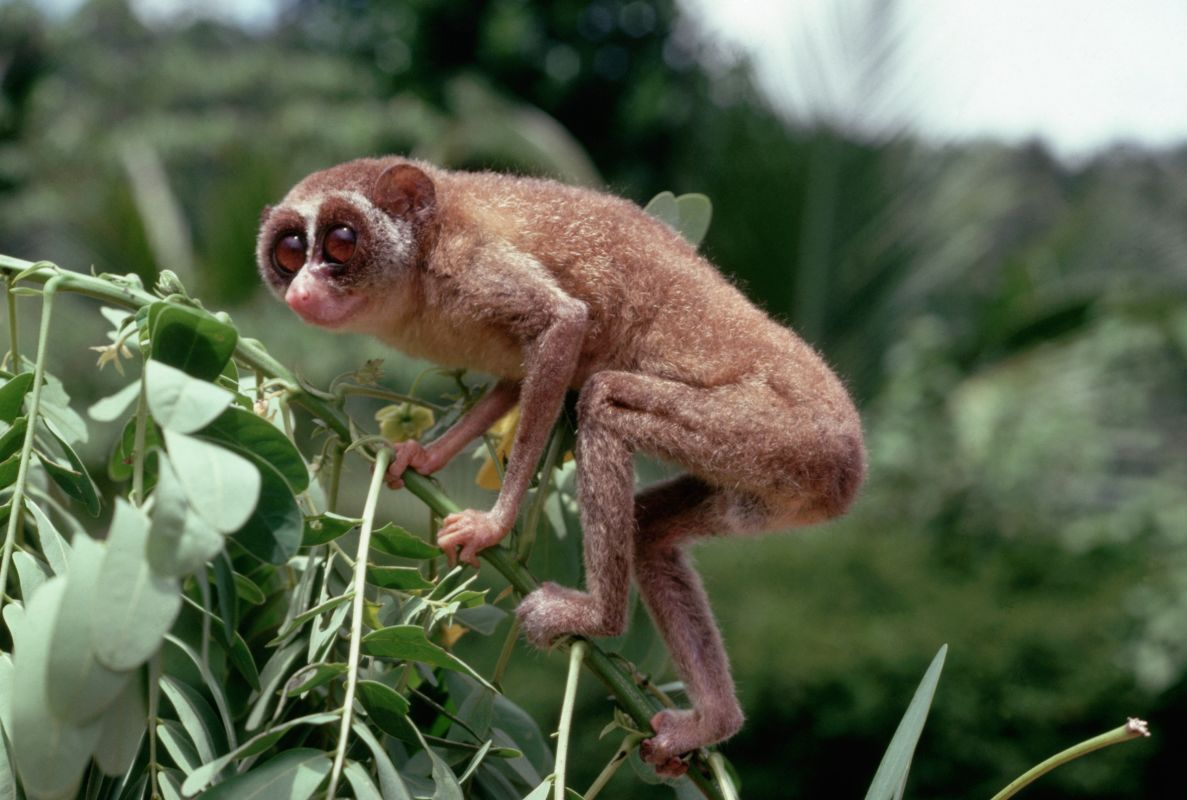 See some bushbaby relatives images | Animals and Nature ...
