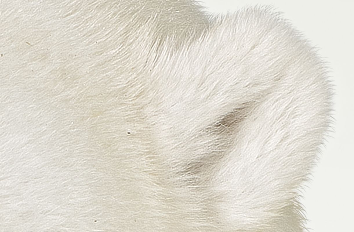 Polar Bear Up Close Images Animals And Nature Lessons