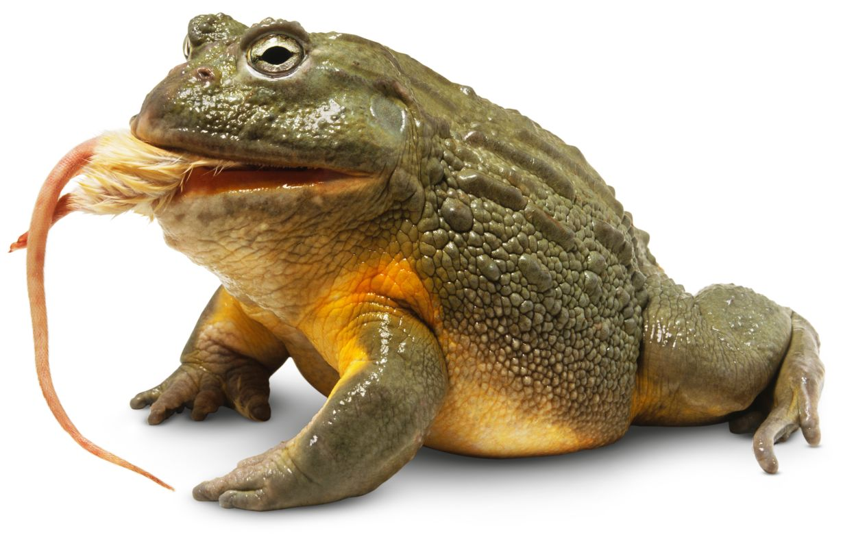 How Does A Frog Eat Its Food