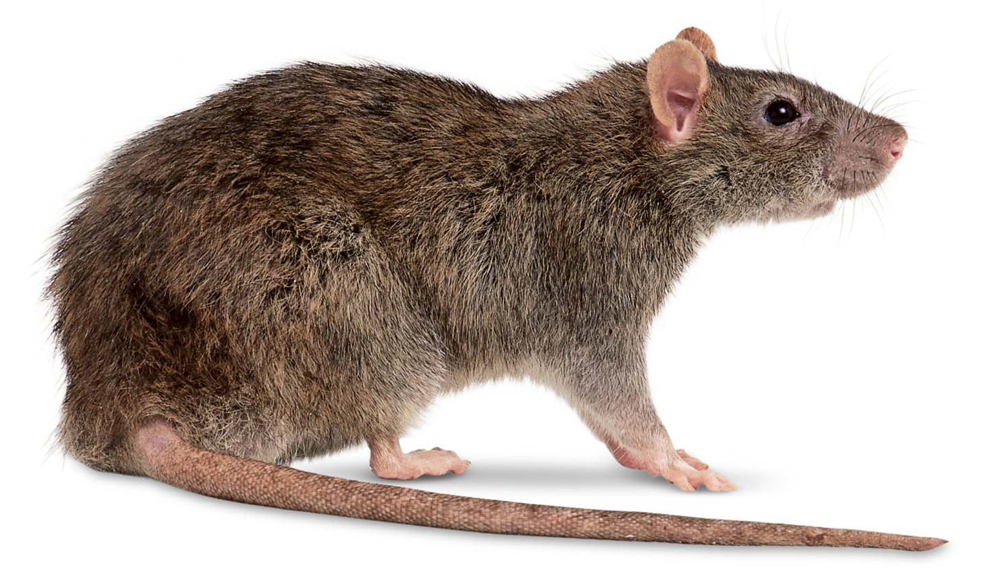 Seven Rat Facts that will Make You Cringe