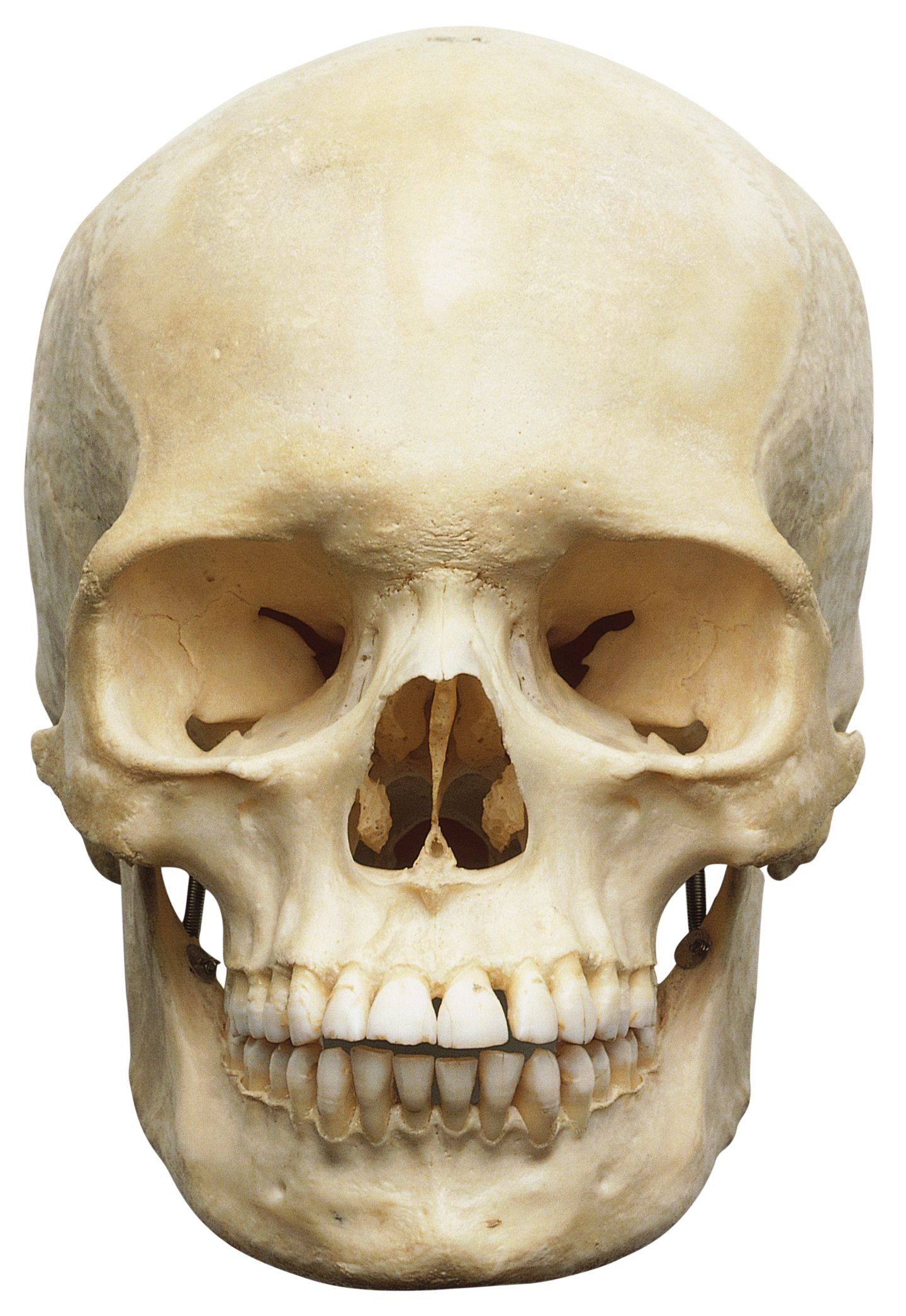 human skull anatomy | bones in human skull | dk find out, Human Body