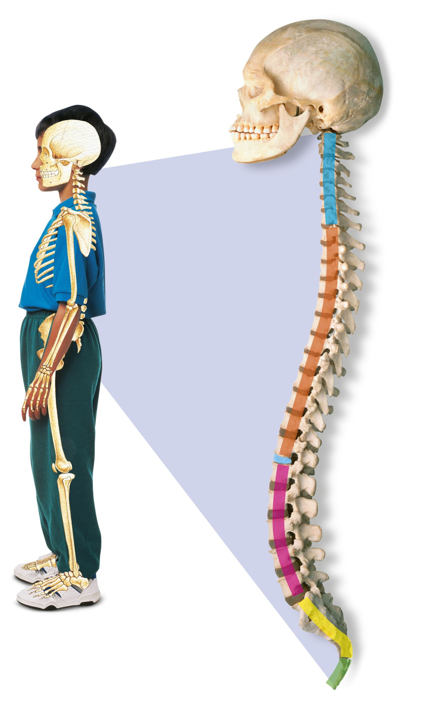 Human Spine Spinal Cord Facts Dk Find Out