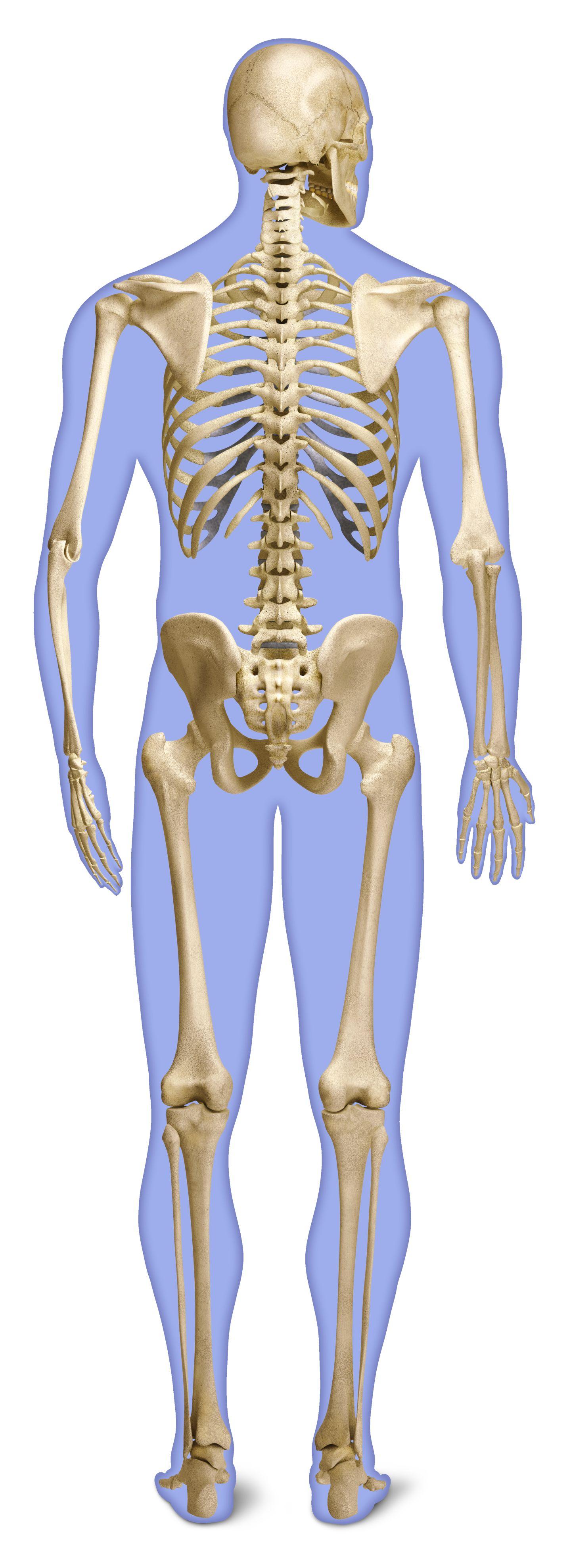 Human back bones back of human skeleton dk find out the skeleton l rd back skeleton g final flat slii12 ccuart Gallery